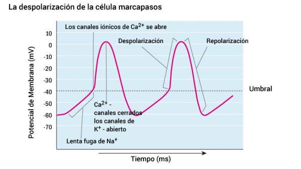 10_pacemakercellens-depolarisering_2016_spansk