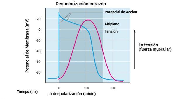 11_hjertemuskelens-depolarisering_2016_spansk