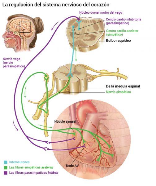13_nervesystemets-regulering-av-hjertet_2016_spansk