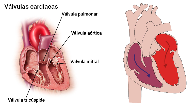 1_hjerteklaffer_spansk