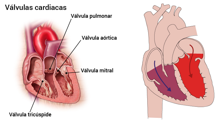 2_hjerteklaffer_spansk
