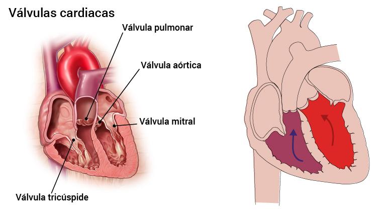 3_hjerteklaffer_spansk