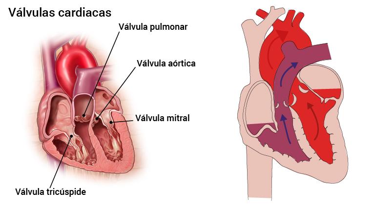 4_hjerteklaffer_spansk