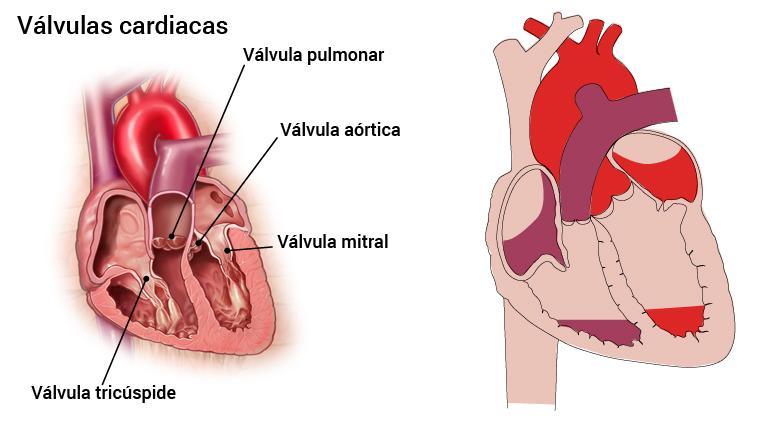 5_hjerteklaffer_spansk